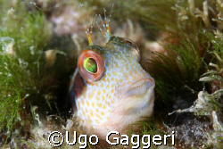 A Blennius from Capo Noli. by Ugo Gaggeri 